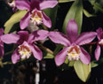 Cattleya harrisone