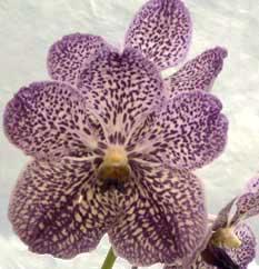 http://orquideana.com.br/vanda.jpg